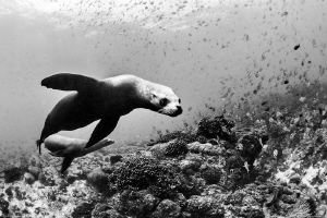 sea lions (Swanne reef, la Paz) by Mathieu Foulquié